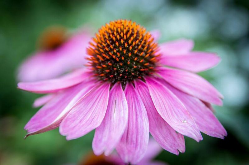 Echinacea - helps to boost the immune system and fight infections