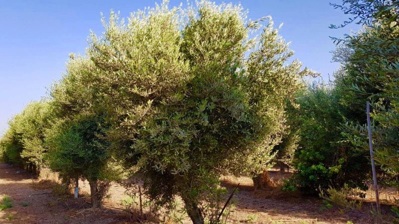 ISRAEL- SKINCARE INSPIRATION DURING MY VISIT OLIVE TREES
