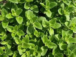 Oregano oil is rich in concentrated phenols that prevent fungal infection. It also has antibacterial, anti-inflammatory, and antiviral properties.