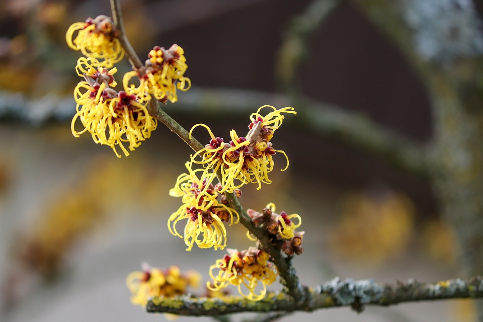 Witch Hazel- Herbal Guide